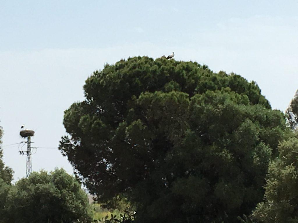 Pinares de Aznalcazar