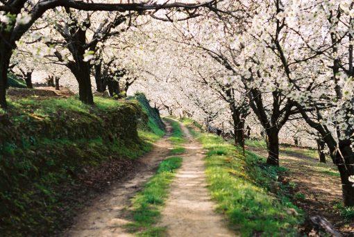 Los Cerezos en Flor en el Valle del Jerte Nuevas Plazas