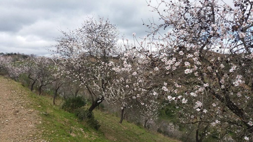 Almendros en Flor en Castro Marim